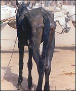 Injured refugee's horse in Pakistan
