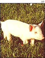 Genetically altered pig: AP
