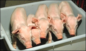 New pig clones: PPL Therapeutics