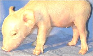 Miniature swine clone (Science)