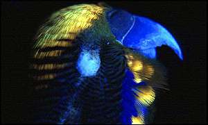 Budgie in UV light