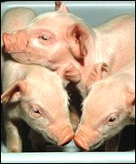 Cloned pigs (PPL Therapeutics)