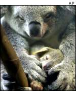 Koala adult and infant