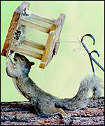 [ image: Invader: The grey squirrel is a better survivor]