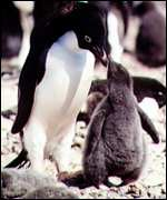 Penguin and chick   BBC