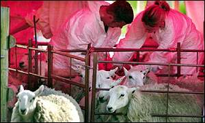 Sheep being tested for foot-and-mouth in the Brecon Beacons
