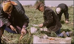 Farming carrots in Poland