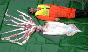 British-caught giant squid