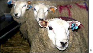 Sheep awaiting slaughter