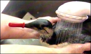 A Guillemot being washed at the trust centre