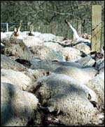 Sheep carcasses