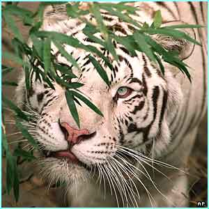 White Siberian Tiger from Birmingham