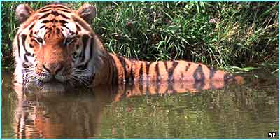 Tigger, a Siberian tiger at a New Jersey adventure park, cools off in a pond