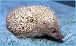 Alfie the blond hedgehog