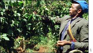 Kenya coffee picker