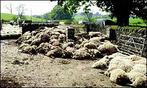 Piles of dead sheep