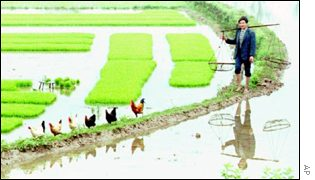 Man in rice paddy   AP
