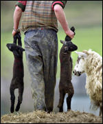 Farmer carries cull lambs