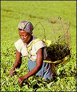 African woman picking tea