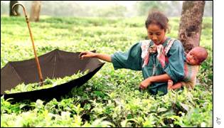 Tea garden in Bangladesh
