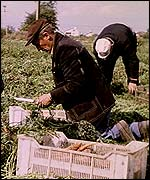 Workers pick carrots in Poland