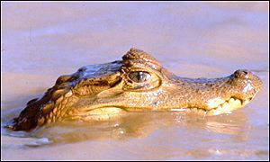 Caiman, a type of crocodile