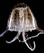 The Irukandji jellyfish