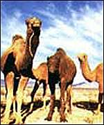 [ image: Camels cross the country on ancient desert trade routes]