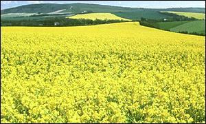 Oil seed rape crop (BBC)