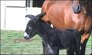 A horse was a surrogate mum for a rare donkey  (Photo: Monash University)