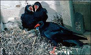 Choughs nesting