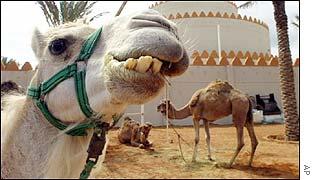 Emirati camels