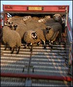 Sheep boarding a truck in Britain