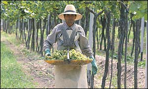Vineyard worker with a tray of grapes