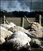 Slaughtered sheep await incineration