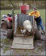 Mud and sheep
