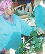 Kenyan worker bunching roses