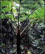 Tree fern   David Southern/WWF-UK