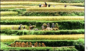 Chinese farmers gathering rice