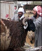 Saudis bring sheep to the meat market in the capital, Riyadh