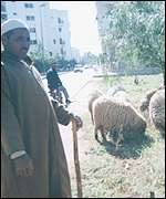 Sheep grazing in Rabat