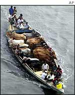 Cattle being ferried on a boat