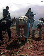 Workers check field for remains of poppies