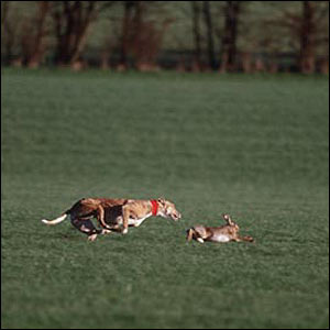 As the hare enters the course the greyhounds are released and it ends when the hare escapes or is caught