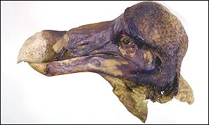 Preserved Dodo head, Alan Cooper and Beth Shapiro