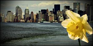 Daffodil and New York graphic