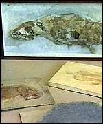 [ image: Ancient ancestors: Coelacanth fossils]