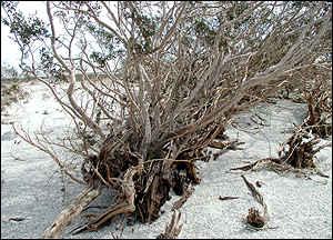 creosote bush photo courtesy BBC.