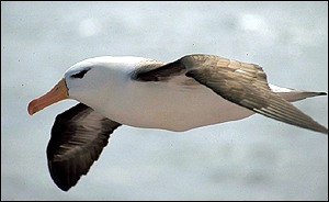 Black-browed albatross   Richard White, Seabirds at Sea Team, Falklands Conservation
