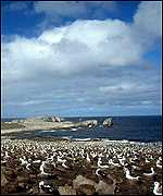 Albatross colony   Richard White, Seabirds at Sea Team, Falklands Conservation
